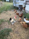 Chicken Coop. Rooster by the chicken coop. Black tailled rooster stock photography