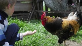 The rooster and chicken eat from the hands of the boy, they eat wheat, grain, bread