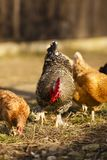 Rooster and chicken at a farm Royalty Free Stock Image