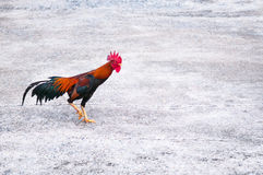 Rooster, Chicken, Gallus gallus, Red Junglefowl, Hen Stock Photography