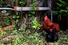 Rooster With Chicken Royalty Free Stock Images