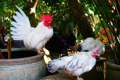 Rooster chicken Royalty Free Stock Photography