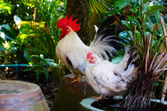 Rooster chicken Royalty Free Stock Photo