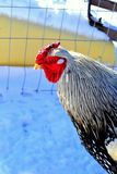 Rooster in the chicken pen. Silver laced Wyandotte rooster in a chicken pen Royalty Free Stock Image