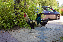 Rooster and chicken running. Royalty Free Stock Photo
