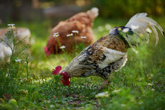 Rooster or chicken on traditional free range poultry farm Stock Image