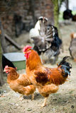 Rooster, chicken and turkey in the back Stock Photos