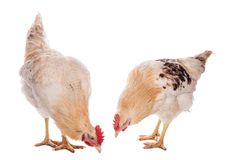 Rooster and chicken Royalty Free Stock Images
