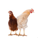 Rooster and chicken Royalty Free Stock Photos