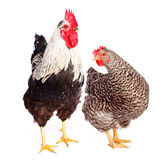 Rooster and chicken on white background Royalty Free Stock Photo