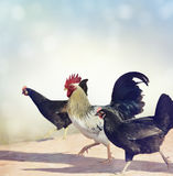 Rooster and Chickens. Royalty Free Stock Images
