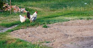 Rooster and chickens on the farm Royalty Free Stock Image