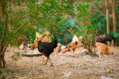 Rooster and Chickens. Royalty Free Stock Photo