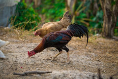 Rooster and Chickens. Stock Photography