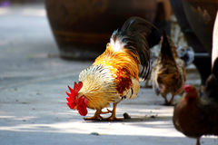 Rooster and Chickens Stock Photos