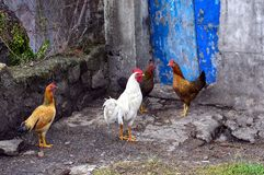 Rooster and chickens in Indonesia. royalty free stock photography