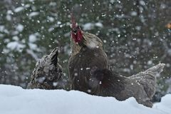 Crowing rooster and chickens of old resistant breed Hedemora from Sweden on snow in wintery landscape. Blue combed crowing rooster of old resistant breed stock images