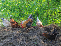 Rooster and chickens Stock Images