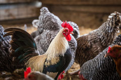 Rooster Among Chickens Royalty Free Stock Photo