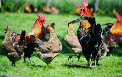 Rooster and chickens on traditional free range poultry farm Royalty Free Stock Photography