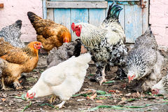 Rooster and chickens in the village courtyard Royalty Free Stock Image