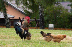 Rooster and chickens Stock Photography