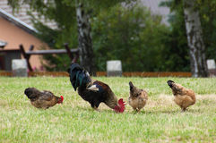 Rooster and chickens Royalty Free Stock Images