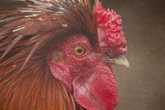 Rooster. Close up of a rooster Royalty Free Stock Images