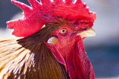 Rooster. Close up detail of a bright red rooster against a blurry background Stock Images