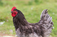 Rooster close up Stock Images