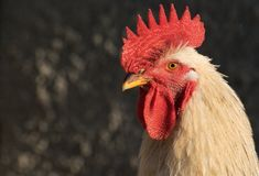 Rooster portrait. Rooster close up portret isolated Royalty Free Stock Image