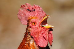 Rooster close up. Red beautiful Rooster close up Stock Illustration