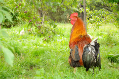 Rooster (Cock) in Garden Royalty Free Stock Photography