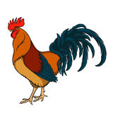 Rooster or cock hand drawn sketch. EPS10 Royalty Free Stock Images