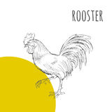 Rooster cock  isolated sketch. New Year Symbol. Rooster cock. Vector isolated hand drawn pencil sketch rooster chicken with comb, hen, cockerel. Detailed feather Stock Photography