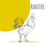 Rooster cock  isolated sketch. New Year Symbol. Rooster cock. Vector isolated hand drawn pencil sketch rooster chicken with comb, hen, cockerel. Detailed feather Stock Photos
