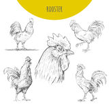 Rooster cock  isolated sketch set. New Year Symbol. Rooster cock. Vector isolated hand drawn pencil sketch rooster chicken with comb, hen, cockerel. Detailed Stock Photo