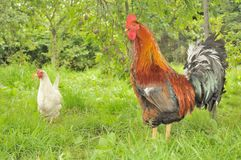 Rooster (Cock) and White Hen in Garden stock image