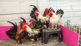 Rooster. Colorful Rooster. Cock. Bantam. chicken as pets Royalty Free Stock Photo