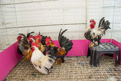 Rooster. Colorful Rooster. Cock. Bantam. chicken as pets Stock Images
