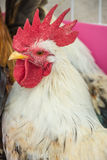 Rooster. Colorful Rooster. Cock. Bantam. chicken as pets Stock Photos