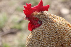 Rooster comb. And collared feathers. His name is George Stock Photography