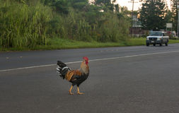 Rooster crossing the road with truck Stock Images