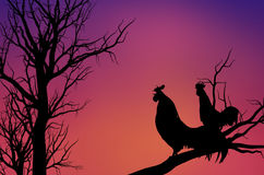 The rooster crow in the early morning Royalty Free Stock Photos