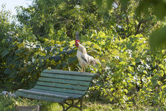 Rooster crowing Stock Photos