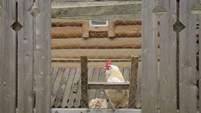 Rooster crowing in a chicken coop stock video