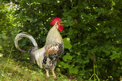 Rooster crowing Royalty Free Stock Photo