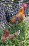 Rooster is crowing while hen is sitting on eggs Stock Photography