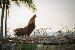 Rooster crowing in the morning Royalty Free Stock Image