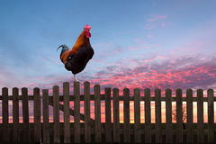 Rooster crowing on a wooden fence at sunrise. Rooster crowing on a wooden fence at sunrise Stock Photos